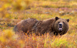 Grizzly_Denali_Crop