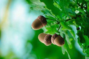 acorn-edible