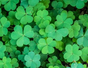 clover-edible