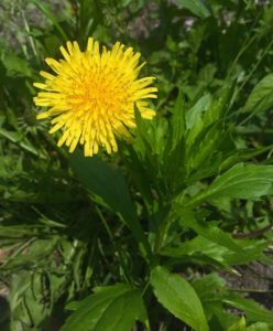 dandelion-edible