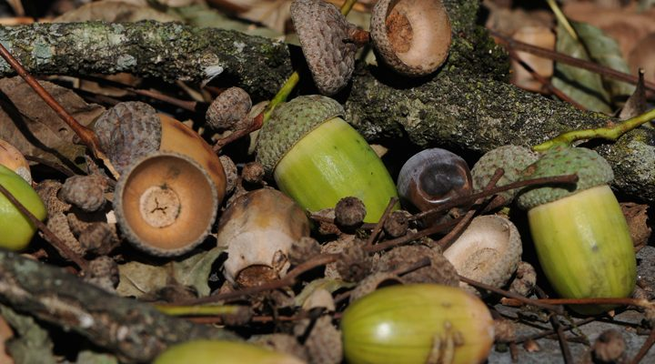 Acorns for Survival Food