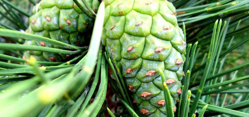 The Incredible Edible Pine