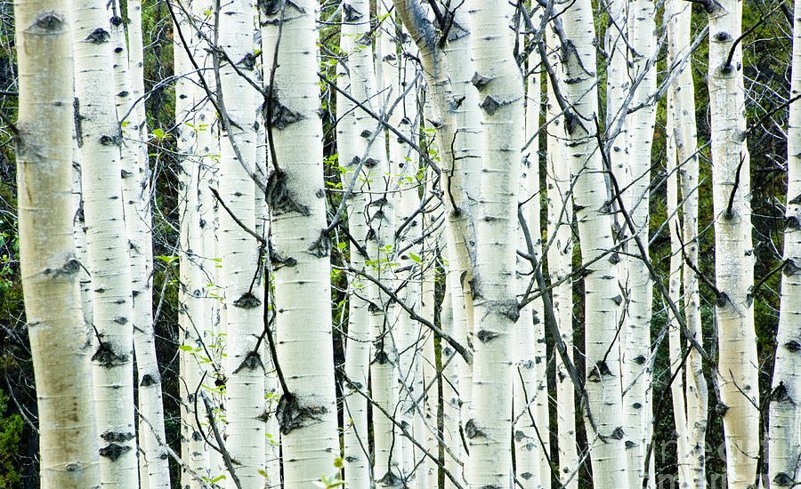 How White Birch Can Help You Survive