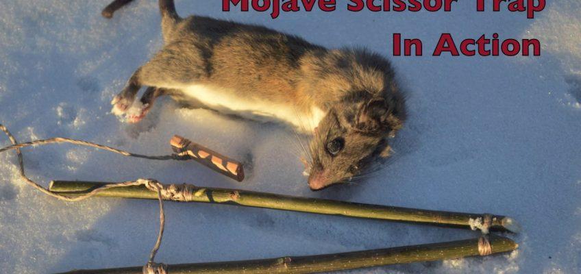 Mojave Scissor Trap (Video)