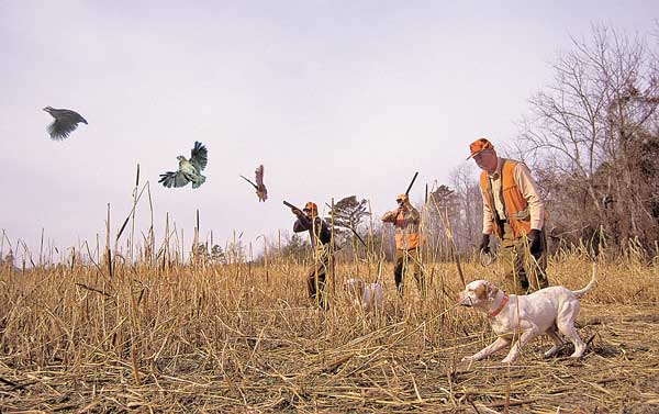 Tips for Hunting Quail