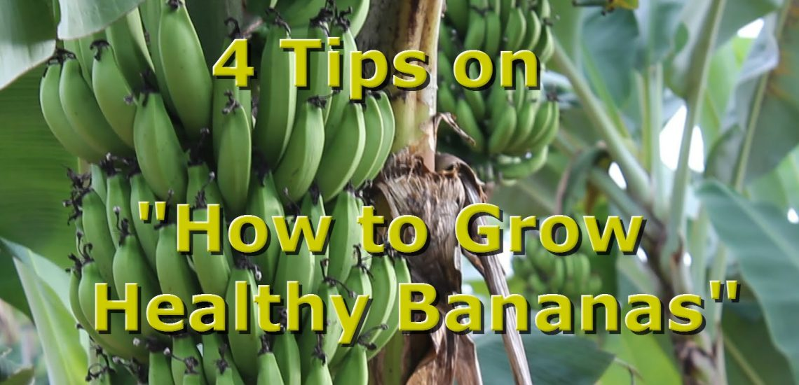 4 Tips on Growing Bananas (Video)
