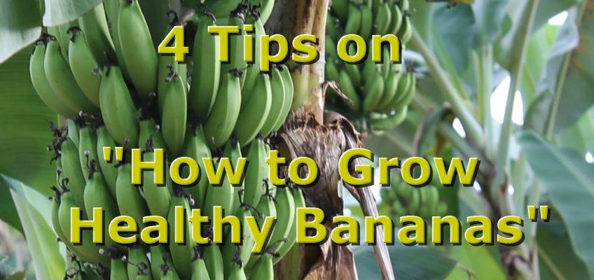 4 Tips on Growing Bananas (Video)