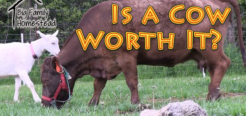 Is A Cow Worth It? (Video)