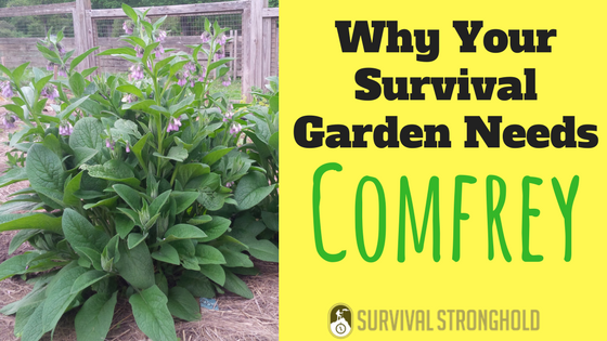 Why Your Survival Garden Needs Comfrey